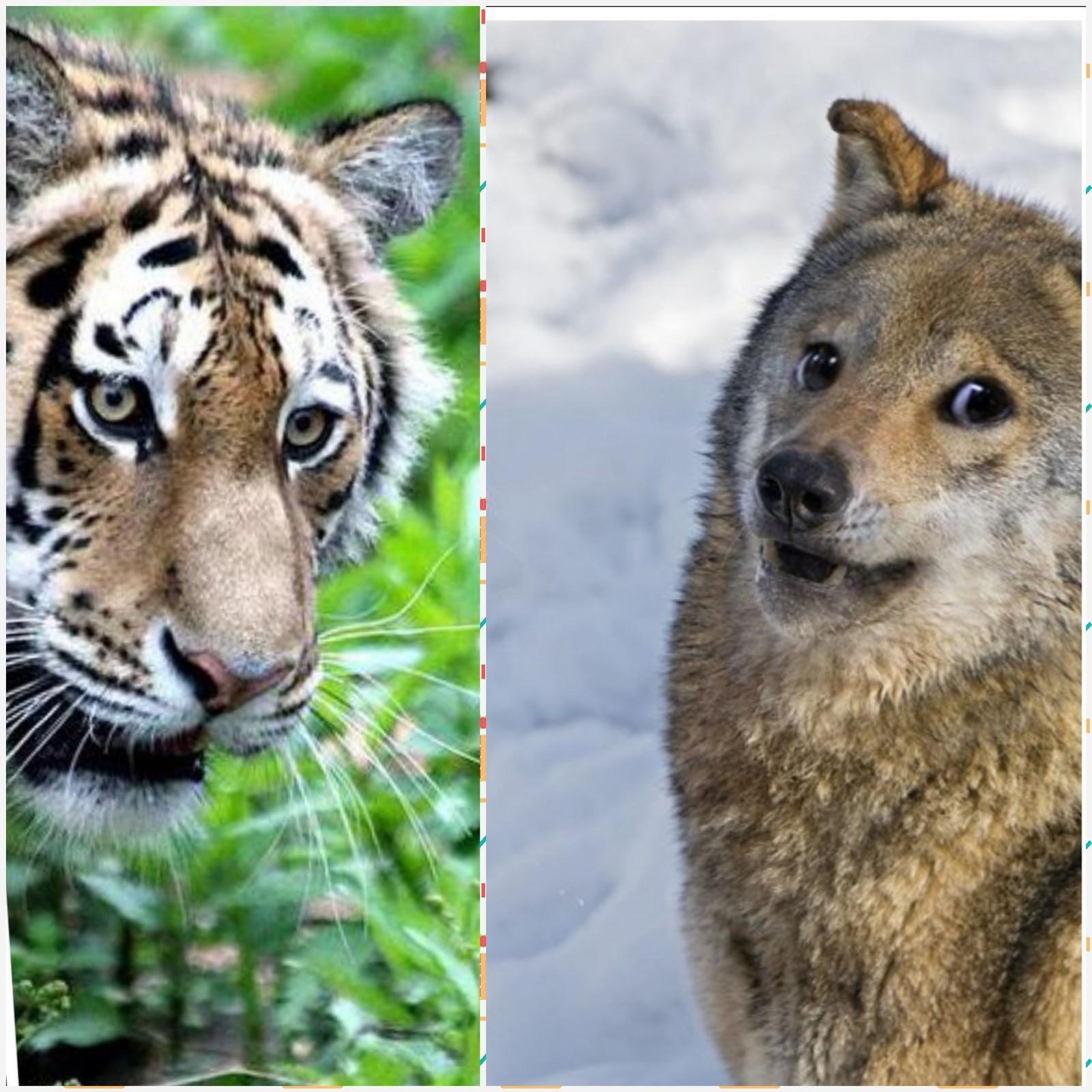 Сценарий поздравление с годом тигра фото 982
