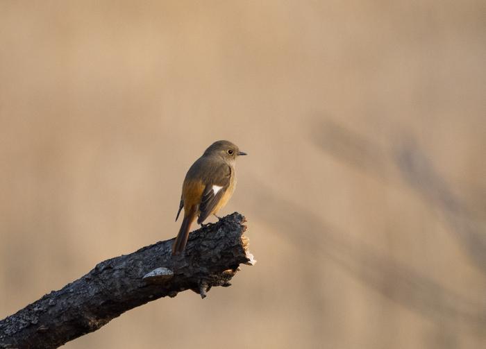Две птички Фотоохота, Птицы, Горихвостка