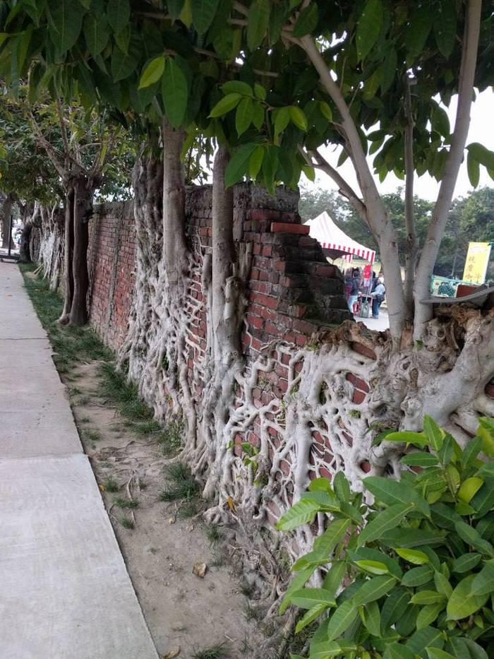 Корни деревьев, прилипшие к забору