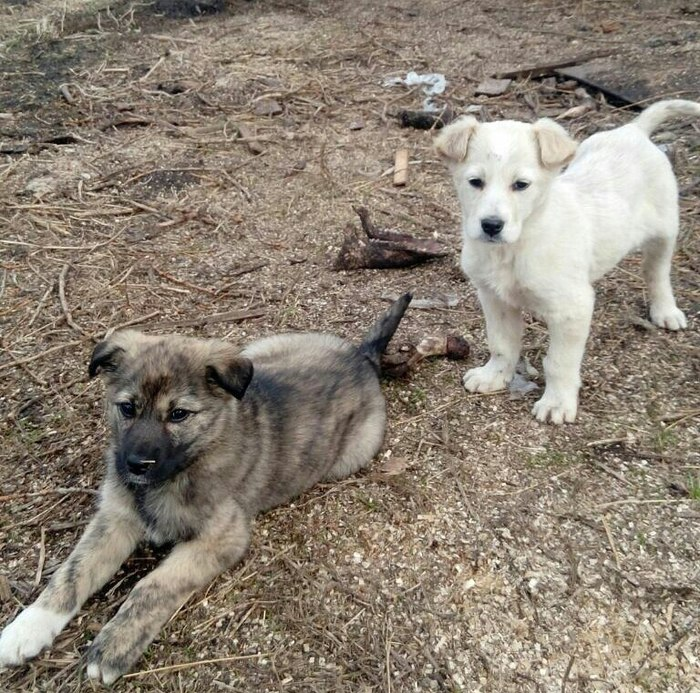 Срочно ищем дом щенкам, Кемерово. Собака, Помощь животным, Бездомные, Кемерово, Щенки, Длиннопост