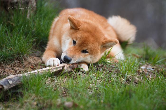 Когда палочки - это святое Собака, Щенки, Сиба-Ину, Фотография, Природа