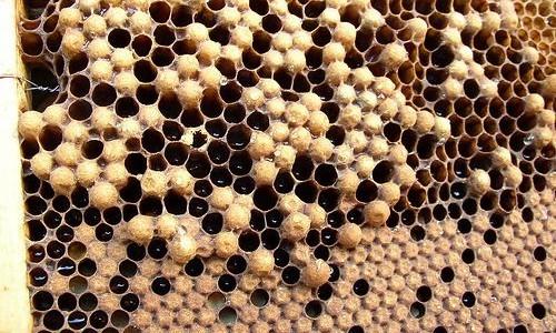 Способы предотвращения роения пчёл Мед, Пчеловодство, Рои, Роевое состояние, Длиннопост