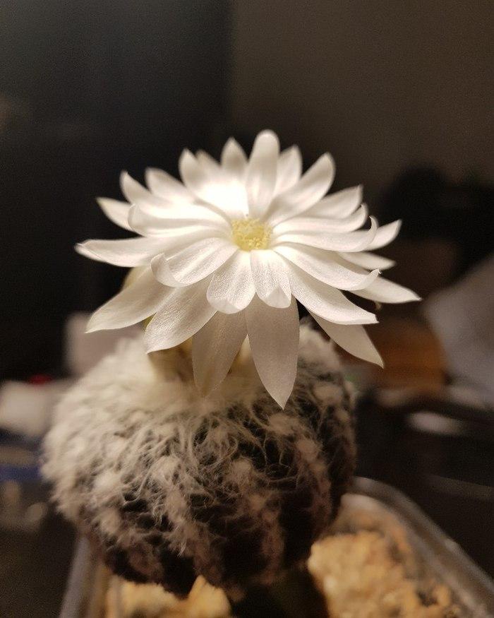 Кактус зацвёл Кактус, Цветение, Длиннопост