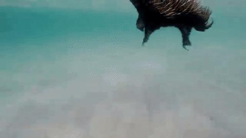 Подборка ехидно-гифок Ехидна, Гифка, Ехидна плавает