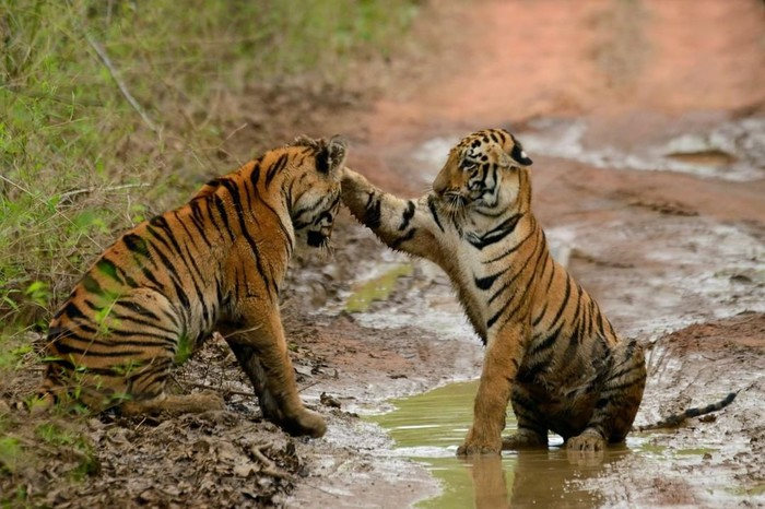 Кошачьи нежности =) Тигр, Кот, Природа, Дождь, Слякоть, Усатый-Полосатый