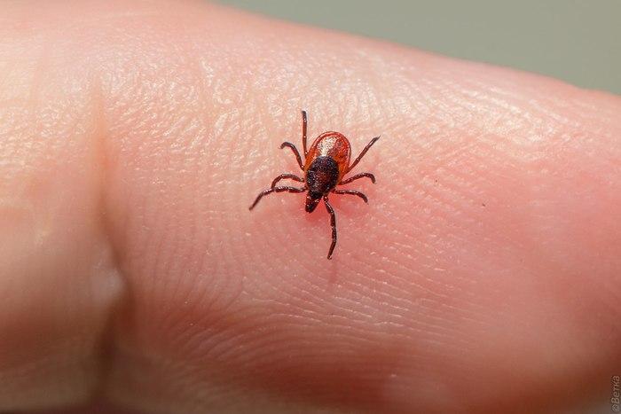 Осторожно клещи Клещ, Клещевой энцефалит, Клещевой боррелиоз, Укус насекомого, Длиннопост