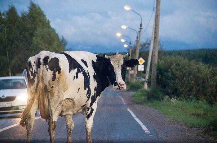 Заблокировала движение и решила попозировать Фотография, Корова, Дорого, Животные, Canon, Му