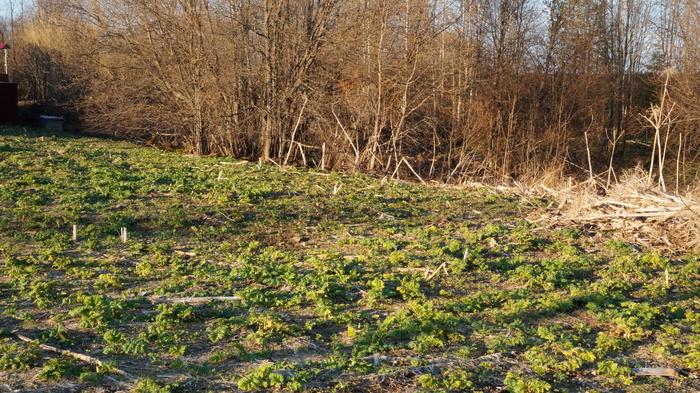 Битва за Землю. Земляне против борщевика, Борщевик, Сорняк, Природа, Растения, Длиннопост, Жизнь в деревне