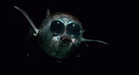 Темнота друг молодёжи- в темноте не видно рожи Рыба, морские обитатели, глубоководные, гифка