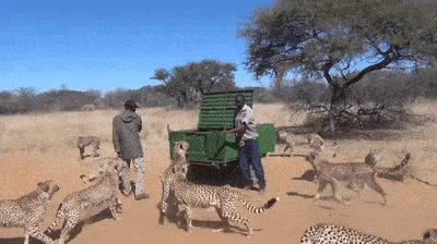 Кормление гепардов.