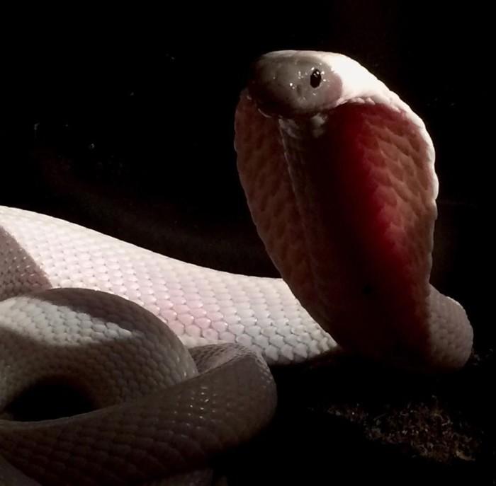Белоснежной кобры фотопост Ядовитая змея, Моноклевая кобра, Видео, Длиннопост