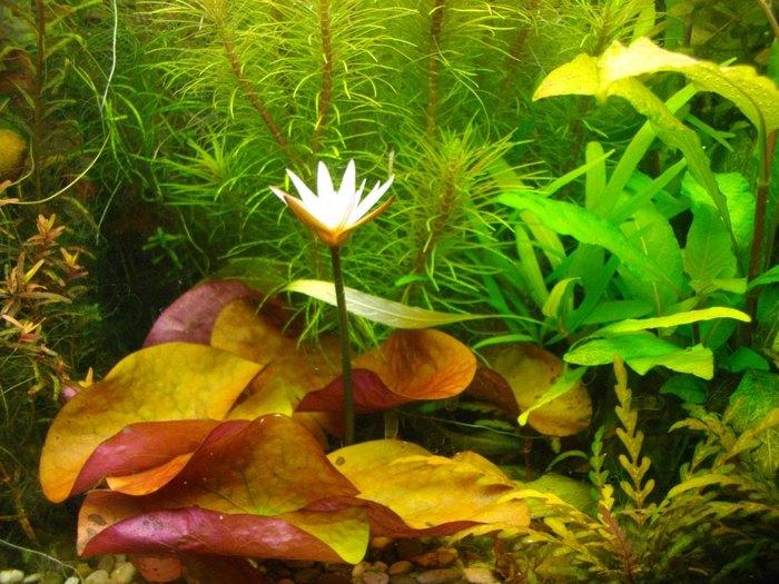 Цветущие аквариумные растения Аквариумистика, Аквариумные растения, Анубиас, Цветение, Длиннопост
