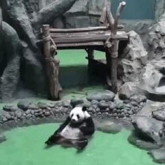 Панда балдеет...