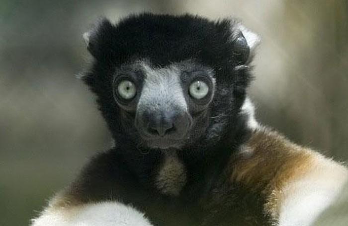 Шелковистая обезьянка СИФАКА Странности, Удивительное, Животные, Глаза, Обезьяна