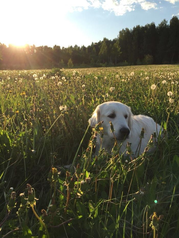 Вечерняя прогулка с хвостатыми Прогулка, Фотография, Длиннопост, Золотистый ретривер, Йоркширский терьер, Собака