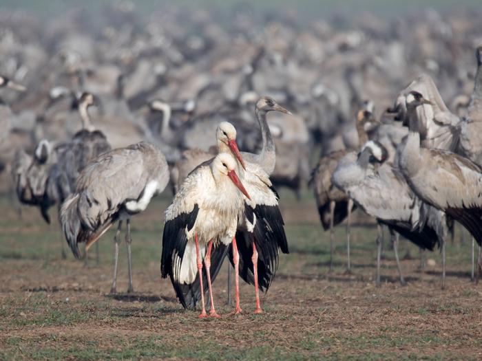Попали в не ту компанию Фотография, Птицы, Белый аист, Журавли, Озеро Хула, Израиль
