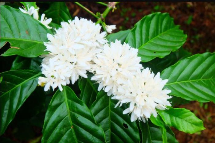 Так цветет кофе. Кофе, Цветы, Длиннопост, Цветение