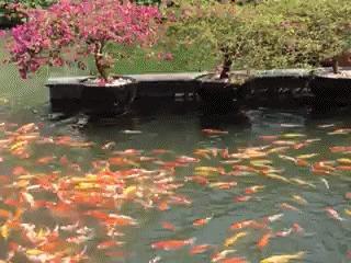 Гифки на среду. Животные, Рыба, Приматы, Азиаты, Гифка, Длиннопост, Кот