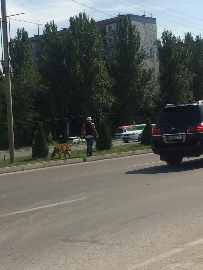 Просто прогуливает тигра в центре Бишкека