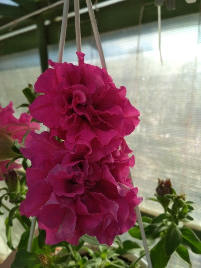 О цветочках Цветы, Петуния, Рассада, Красота, Маленькое чудо, Длиннопост, Фотография