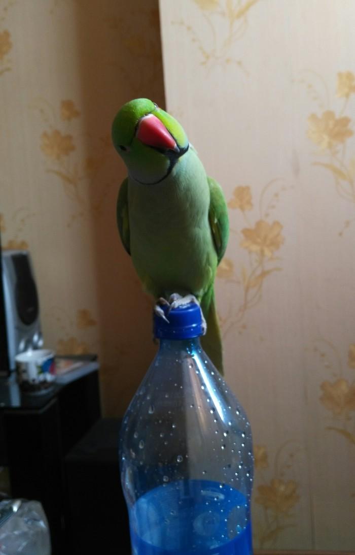 Знакомство. попугай, друг, алкоголь, пиво, длиннопост