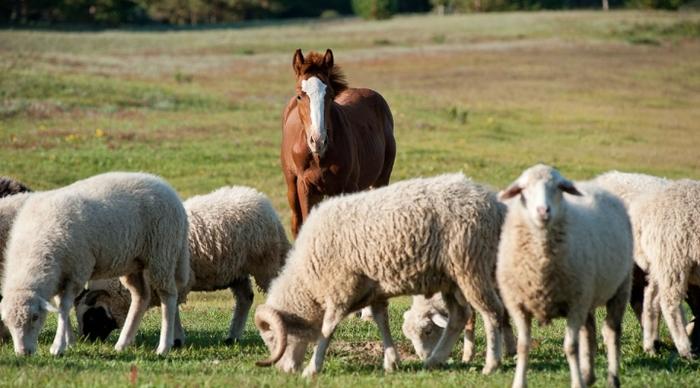 Внимание и забота Дружба, Лошади, Овцы