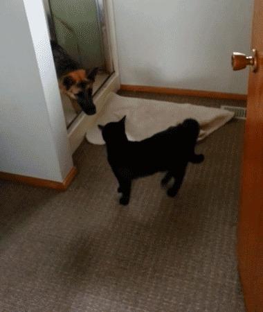 Извините пожалуйста, разрешите пройти? Собака, Кот, Трус, Немецкая овчарка, Гифка, Видео, Длиннопост