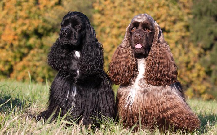 О породах собак. Американский кокер-спаниель. Собака, Породы собак, Кокер-Спаниель, Длиннопост, Видео
