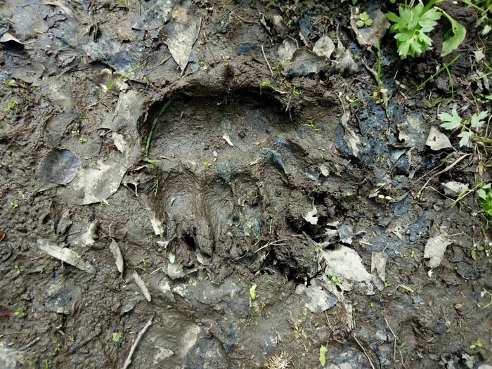 Мишкин след. Медведь, Лес, Даша-Следопыт