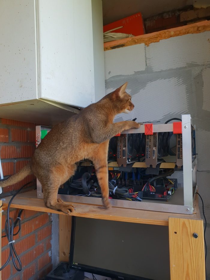 Какой курс обмена эфира на кошачий корм? Кот, Абессинец, Абиссинская кошка, Майнинг, Ферма майнинга, Риг, Эфир, Длиннопост