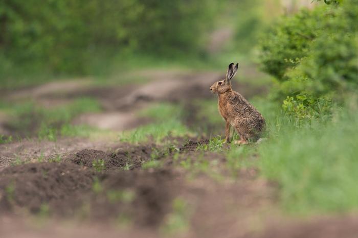 Молодой русак моё, фотография, животные, заяц, природа