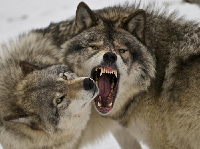 Как волки спаслиЙеллоустонский парк Экология, Экосистема, Природа, Волк
