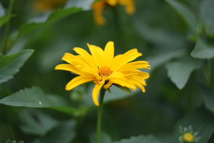 Дачное сегодняшнее. Гелиос 44-2 Фотография, Гелиос 44-2, Цветы, Длиннопост