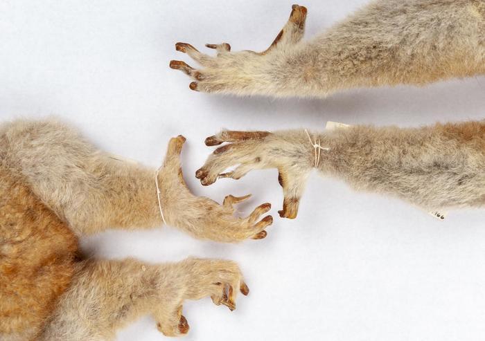Переход от когтей к ногтям у приматов оказался сложнее, чем думали ранее Палеонтология, Млекопитающие, Приматы, Наука, Животные, Обезьяна, Эволюция, Длиннопост