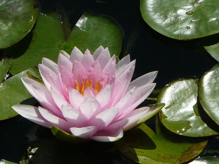 Лилия Лилия, Цветы, Растения, Природа