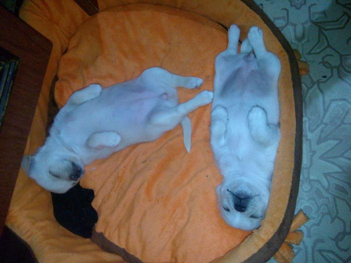 Санька и Панька спустя 7 месяцев. Собака, Сестры, Чихуахуа, Моё, Длиннопост
