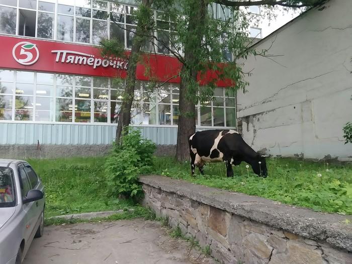 Пятёрочка удивляет свежим молоком Прогулка по городу, Животные, Пятерочка, Выручка, Молоко