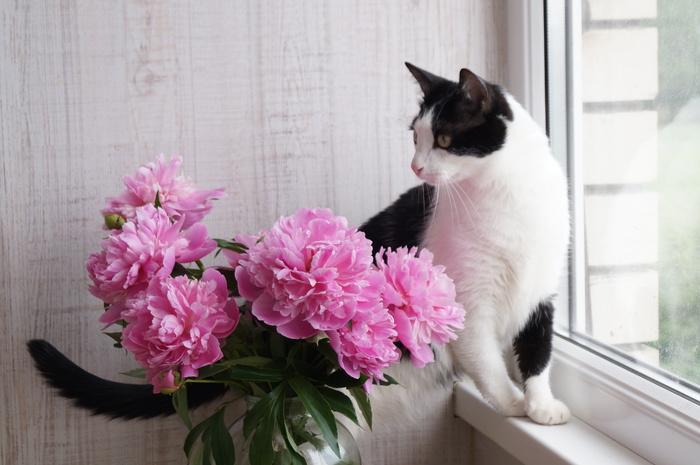 Котя нюхает цветы :3 Кот, Пионы, Цветы