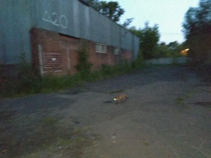 В Москве есть лисы!!! Лиса, Москва