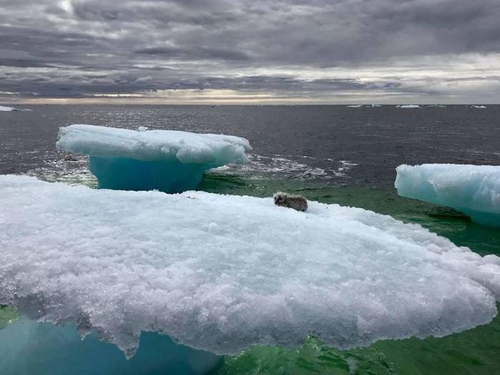 Как песец застрял на льдине Песец, Льдина, Канада, Длиннопост