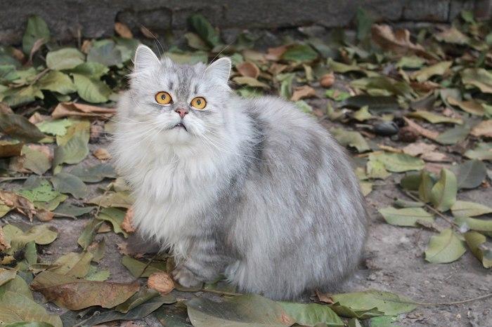 Когда упустила добычу Кот, Персидский кот, Пушистый, Мех, Эмоции