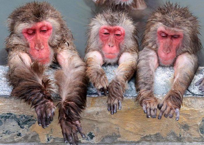 Японские макаки Макака, Япония, Парк, Горячие источники, Длиннопост