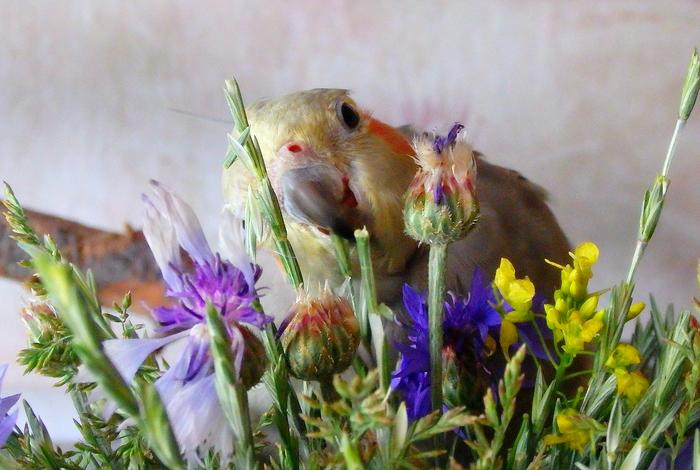 Запаслась зеленью птахам до выходных. Попугай, Корелла, Питание, Зелень
