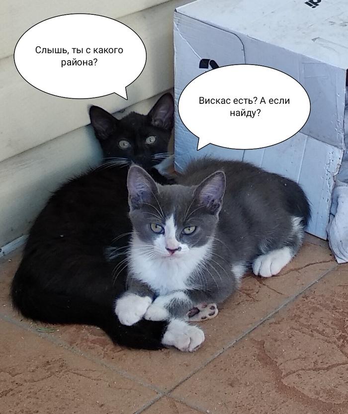 Два кошкиных ребёнка ищут дом. В добрые руки, Котята, Длиннопост, Кот, Сочи, Адлер, Помощь
