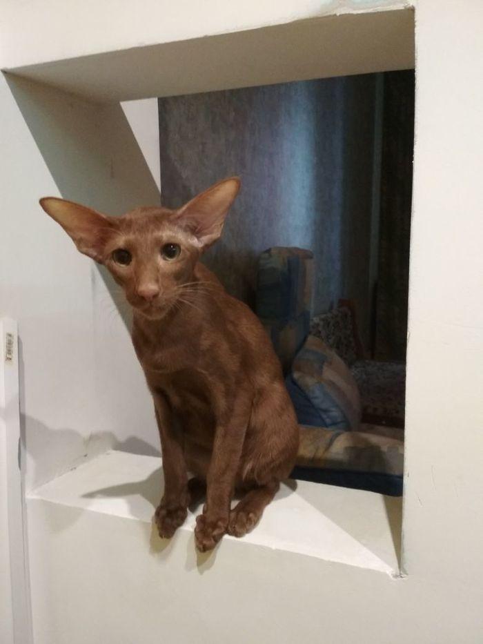 Мой кот Тайсон) Ориентальные кошки, Кот, Котомафия, Разница, Тайсон, Длиннопост