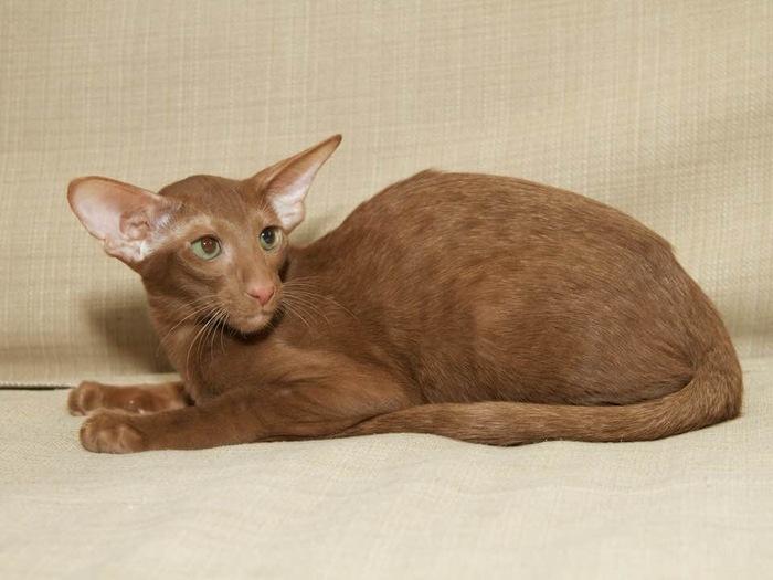 Мой кот Тайсон) pt.2 Кот, Ориентальные кошки, Тайсон, Котомафия, Длиннопост