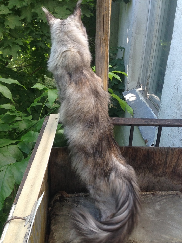 Кошечку в ленту Мейн-Кун, Милота, Вредина, Длиннопост, Кот