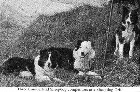 О породах собак. Австралийская овчарка. Собака, Породы собак, Австралийская овчарка, Аусси, Видео, Длиннопост