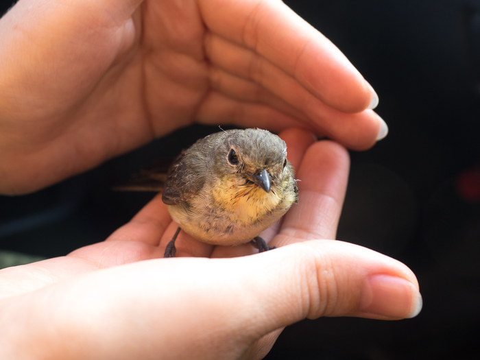 Желтоспинная мухоловка Мухоловка, Птицы, Подбитая птица, Длиннопост