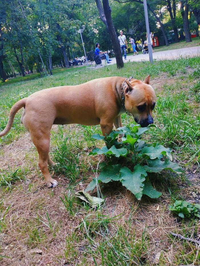 Собачники, у меня к Вам вопрос, вы своим собакам разрешаете есть траву? Вопрос, Амстафф, Амстафф фото, Собака